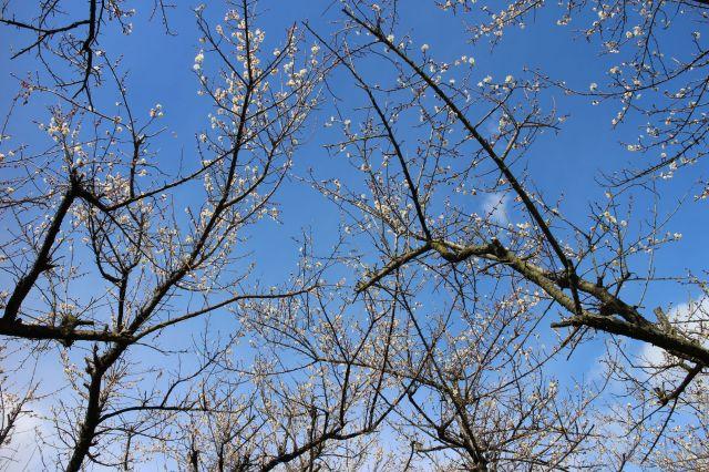 梅の花五分咲き3