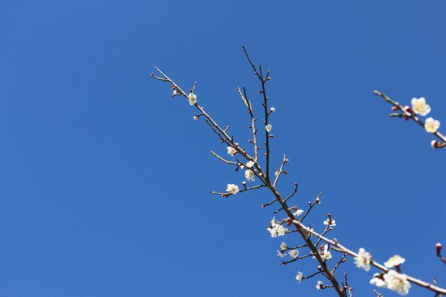 梅の花満開 つぼみ