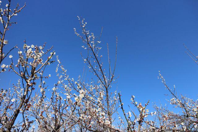 梅の花 散りはじめ 1