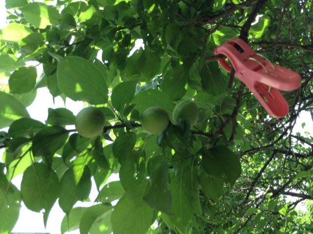 梅の実170502