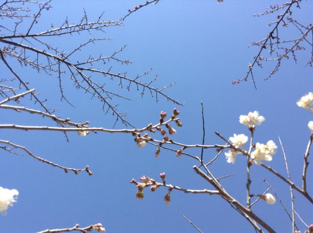 梅畑のとなりの桜